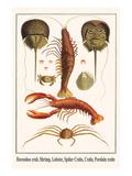 Horseshoe Crab, Shrimp, Lobster, Spider Crabs, Crabs, Porelain Crabs Reproduction d'art par Albertus Seba