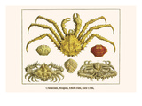 Crustaceans  Decapods  Elbow Crabs  Rock Crabs