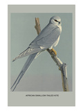 Afircan Swallow Tailed Kite