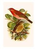 Scarlet Rose Finch