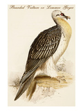 Bearded Vulture or Lemmer Geyer