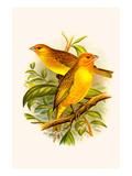 Safron Finch or Brazilian Bunting or Brazilian Canary