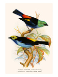 Superb Tanager  Paradise Tanager