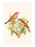 Ribbon Finch or Cut Throat Finch