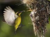 APTOPIX Malaysia Sunbird