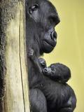 APTOPIX Hungary Newborn Gorilla