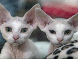APTOPIX Romania International Cat Show
