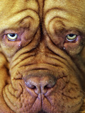 Britain Crufts Dog Show
