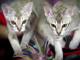 Romania International Cat Show
