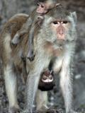 APTOPIX Thailand Monkey Festival