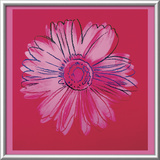 Daisy  c1982  (crimson and pink)