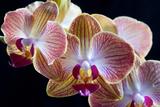 Amaryllis closeup