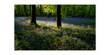 Bluebell wood scenic horizontal