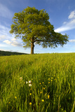 Solitary oak tree stands in field in Surrey