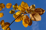Autumn leaves glow against blue sky