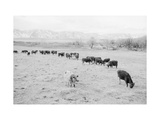 Cattle in South Farm Reproduction d'art par Ansel Adams