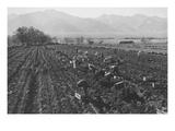 Potato Fields Reproduction d'art par Ansel Adams