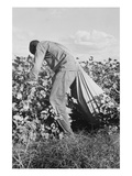 Migratory Field Worker Picking Cotton
