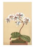 Phalenopsis Schilleriana