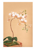 Phalenopsis Stuartiana; Philippine Orchid
