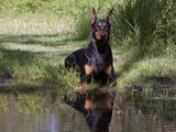 Black Doberman with Reflection