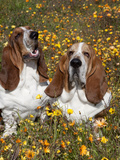 Basset Hounds in Wildflowers