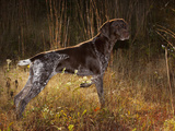 German Short Hair Pointer  Connecticut