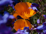 California Poppies  California