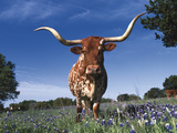 Texas Longhorn in Bluebonnets  Texas