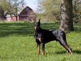 Black Doberman in Spring