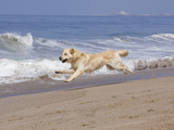 White Golden Retriever Running Along Pacific Beach