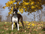 Boxer in Autumn