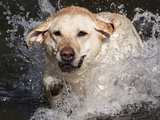 Yellow Labrador Retriever Water Entry