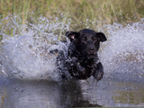Black Labrador Retriever Water Enry
