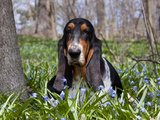 Basset Hound in Blue Flowers