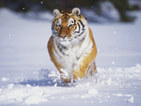 Tiger Running in Snow