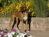 Boxer and Flowers
