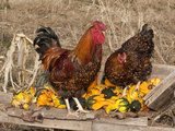 Wyandotte (Breed) Rooster and Hen