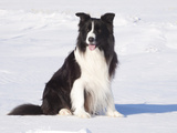 Border Collie in Snow