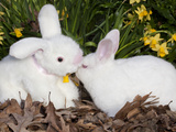 White New Zealand Rabbit with Stuffed White Rabbit Toy