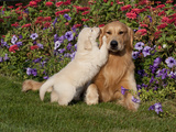 Golden Retriever Pup with Adult