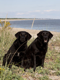 Pair of Black Labrador Retrievers