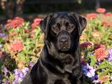 Black Labrador Retriever  Portrait
