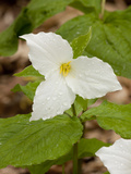 Great White Trillium  Illinois