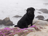 Black Labrador Retriever with Pink Flowers on Cliff  California