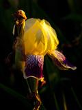 Tall Bearded Iris  Early Evening