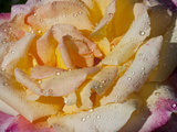 Pink and Yellow Tea Rose