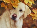 Yellow Labrador Retriever and Maple Leaves  Portrait
