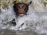 Chocolate Labrador Retriever Water Entry