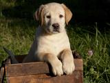 Yellow Labrador Retriever Puppy in Wooden Box
